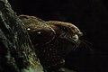Oilbird 2015-06-06 (8) (26444801958).jpg