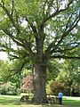 Old Oak Tree2 - Scarsdale Woman's Club - Scarsdale, NY - September 2012.jpg
