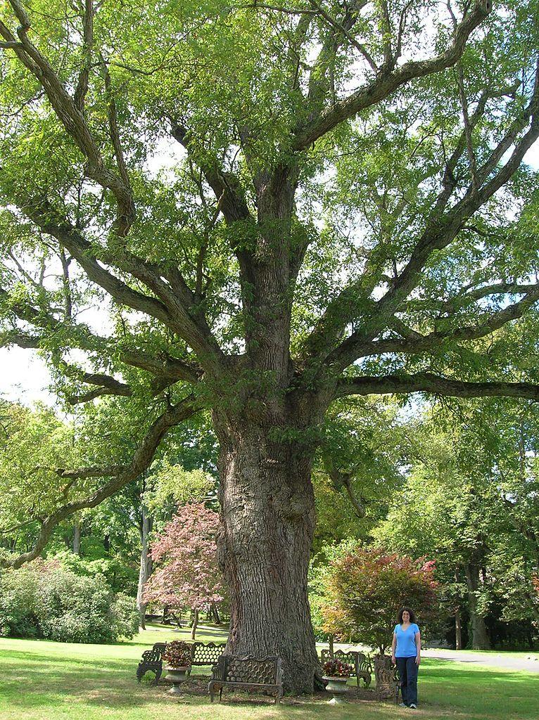 File Old Oak Tree2 Scarsdale Woman S Club Scarsdale