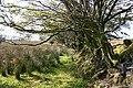 Old hedgerow at Tudball's Splats - geograph.org.uk - 969101.jpg
