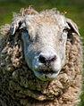 Old sheep face.jpg