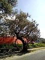 Old trees of Kruja.jpg