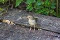 Olive sparrow (46954916904).jpg