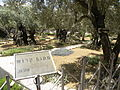 Olive trees in the traditional garden of Gethsemane (6409551761).jpg