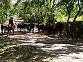 Ometepe cattle drive.jpg