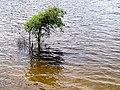 One tree Parkers Creek Jordan Lake NC SP 3748 (35335491313).jpg