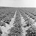 Ontginning, zaaien en oogsten gewassen, beregening, nop, Bestanddeelnr 160-0224.jpg