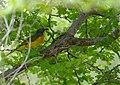 Orange-breasted Bush-shrike (Telophorus sulfureopectus) (12010362625).jpg