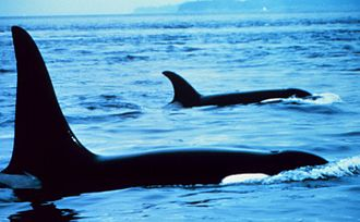 Killer whale - Differences of dorsal fins between males (front) and females (background)