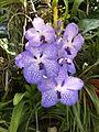 Orchidaceae.2622.JPG