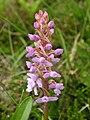 Orchidee Liuthalas 020709-1.JPG