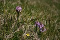 Orchids at Rubha na Leacaig - geograph.org.uk - 442828.jpg