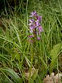 Orchis mascula 01.jpg