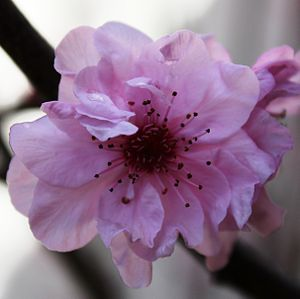Closeup of an ornamental cherry plum (Prunus c...