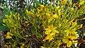 Ouratea sp., Ochnaceae, Atlantic forest, northern littoral of Bahia, Brazil (6956293157).jpg