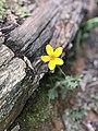 Oxalis amarilla.jpg