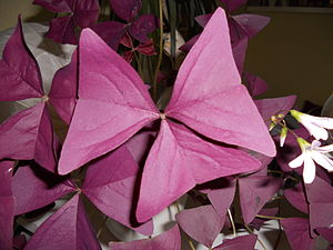 Oxalis triangularis - DSCN0066.JPG