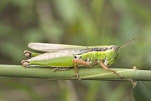 Locust (Oxya yezoensis)