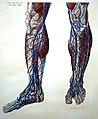 "P. Mascagni ""Anatomiae universae...""; vessels of legs Wellcome L0019174.jpg"