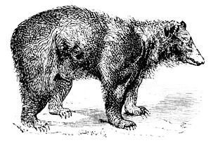 PSM V06 D298 Black bear.jpg