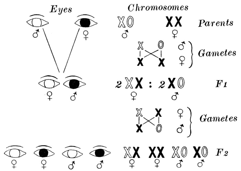 File:PSM V85 D440 Inheritance of color blindness through ...