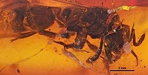 Pachycondyla succinea - Neotype queen