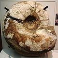 Pachydesmoceras pachydiscoide 02.jpg