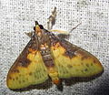 Pachynoa cf. sabelialis Crambidae, Spilomelinae (7211492192).jpg