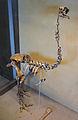 Pachyornis elephantopus (skeleton) at Göteborgs Naturhistoriska Museum 8052.jpg