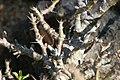 Pachypodium lealii saundersii 5zz.jpg