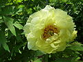 Paeonia 'High Noon'.jpg