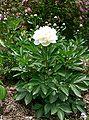 Paeonia lactiflora1.jpg