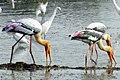 Painted stork (വർണ്ണക്കൊക്ക്) (13033535344).jpg