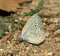 Pale Grass Blue Pseudozizeeria maha UN at Kanha Tiger Reserve, Madhya Pradesh IMG 9345 (6).jpg