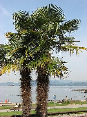 English: Vancouver, Palm Tree, English Bay