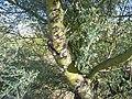 Paloverde, Saguaro National Park (Rincon Mountain District), Arizona (5d64fc42-5a8a-4104-9d58-33108feabc39).jpg