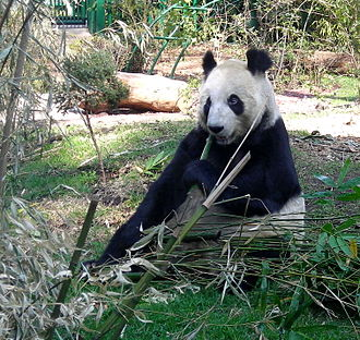 Chapultepec Zoo - One of the pandas currently living at the zoo.