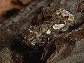 Panolis flammea - Pine beauty - Совка сосновая (40218142020).jpg
