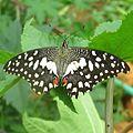Papilio demoleus at Bannergutta.jpg