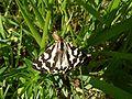 Parasemia plantaginis.jpg