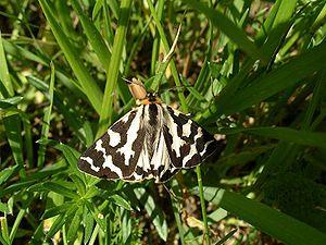 Parasemia plantaginis - Male