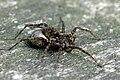 Pardosa.hortensis3.-.lindsey.jpg