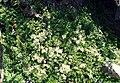 Paronychia kapela ssp serpyllifolia 1.jpg