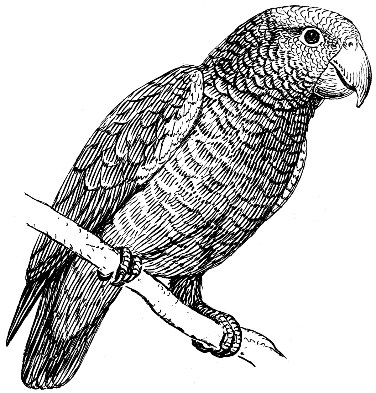 Perroquet Wikipédia