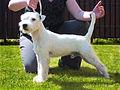 Parson Russell Terrier FCI.jpg