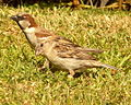 Passer domesticus male and female.jpg