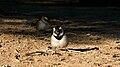 Passer melanurus -Namibia -two-8.jpg
