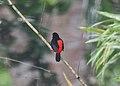 Passerini's Tanager (Ramphocelus passerinii) (5198326769).jpg