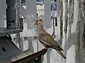 Patagioenas corensis -Curacao-8.jpg