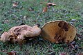 Paxillus involutus (29964984361).jpg